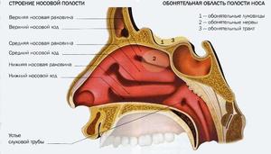 Анатомическое строение носа