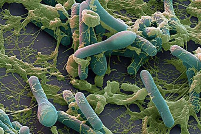 Бактерия Clostridium botulinum