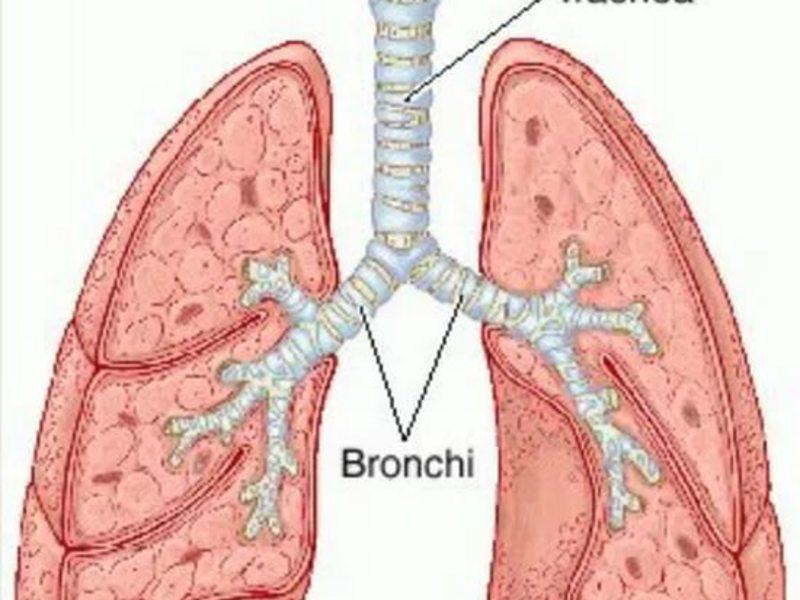 Строение органов дыхания