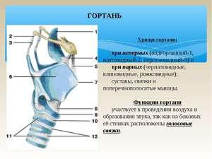 Анатомия гортани человека