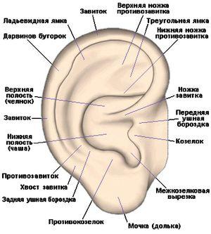 Как устроено ухо у человека