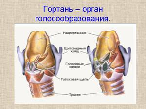 Гортань – орган голосообразования