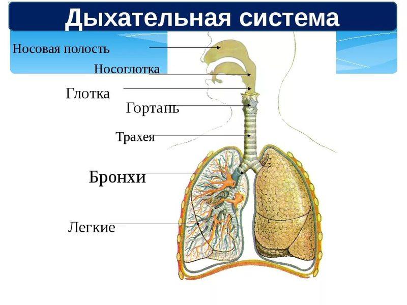 Лечение трахеи