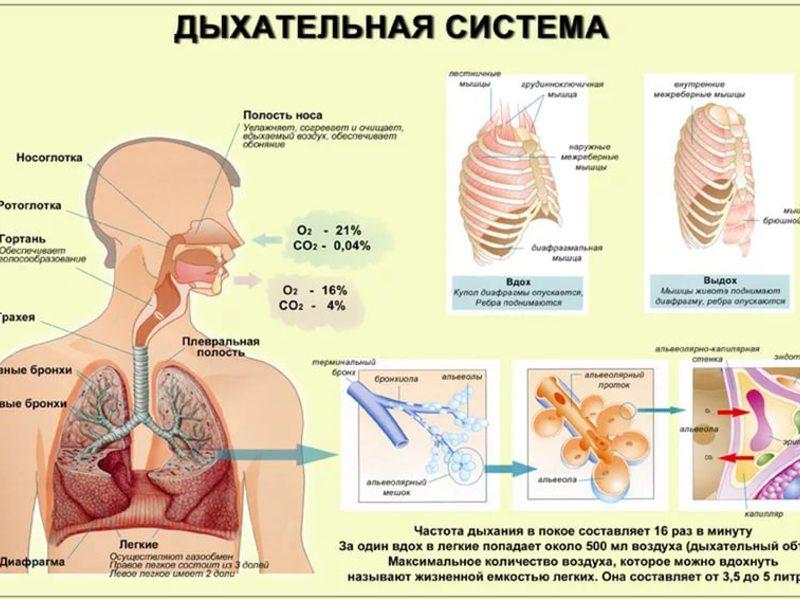 Дыхательное горло, или трахея